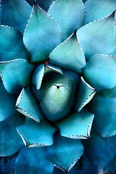 blue succulent . alan shapiro