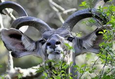 Kudu bull close up - Kruger National Park