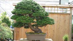 Hinoki Cypress Bonsai Tree. Read more about Bonsai http://tipsplants.com/plants/house-plants/bonsai