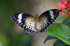 Lace-wing opens to reveal its gold, black and white beauty - Flickr - Photo Sharing!