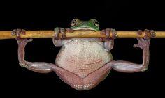 Endonezya'nın atletik kurbağası.