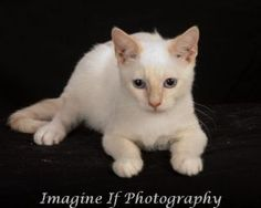 Flea is an adoptable Siamese Cat in Oklahoma City, OK. When Flea came to PAWS-OK from the Shawnee Animal Shelter he was more 'flea' than 'feline'.  He was covered with the nasty little things who were...