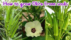 Growing Okra, Vegetable Garden, Natural Health, Harvest, Seeds, Health Care, Plants, Gardening, Youtube