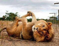 Lion-- absolutely adorable!