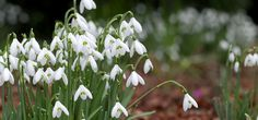 early snowdrops in the Northern Garden at the Lost Gardens of Heligan