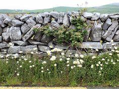 wild roadside flowers the burren