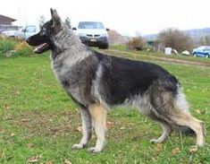 Image result for shiloh shepherd Shiloh Shepherd, Goats, Image, Animals, Animales, Animaux, Animal, Animais, Goat
