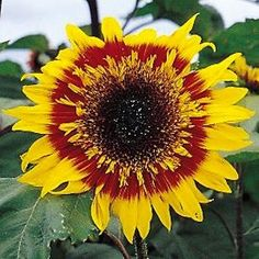 THE JOKER Sunflower Seeds Giant 6-8 inch extremely showy red and yellow bicolor semi-double to fully double blooms have fascinating curled petals around the disk. Well branched 6-7 foot plants. An excellent pollen-free cut flower. Combine with ProCut Bicolor to make truly memorable arrangements