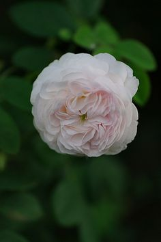 ~Rosa 'Madame Zöetmans' (France, before 1846)
