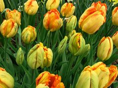 Google Image Result for http://2bnmaine.com/blog/photos/450-maine-yellow-orange-green-tulips-northeast-harbor-stewart-estate-maine.jpg