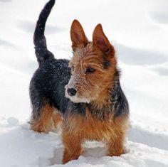 Dunham Lake Australian Terriers
