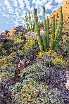 Organ Pipe Cactus with Blooming Brittlebush by Byron O'Neal on 500px