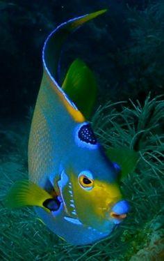 99 best beyond the sea images on pinterest marine life north sea so beautiful underwater lifebeyond the seaangel fandeluxe Choice Image