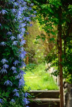 Klematis er en favoritt hos mange, og den er perfekt å kle vegger og tak i hagen…