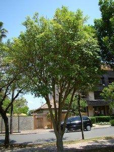 Cereja do rio grande – Eugenia involucrata – Árvore nativa frutífera, atrativa para os pássaros, de copa colunar e própria para clima subtropical.