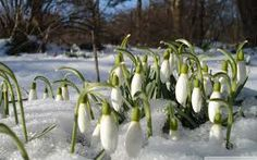 10 Snowdrops early spring flowers bulbs Naturalize Snow Drops Earliest Blooms *Pre-Chilled for forci Spring One, Spring Sign, Early Spring, Spring Fever, Small Trees, Small Flowers, Beautiful Flowers, Exotic Flowers, Spring Wallpaper Hd
