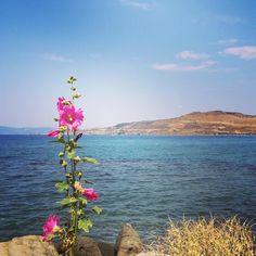 Longing back to my holiday in beautiful Lesvos. #lesvos #lesbos #greece #iggreece #holiday #travel #travelgram #travellust #sun #sea #flower #flowers #flowerstagram #flowersofinstagram