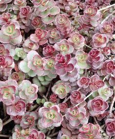 Great color variation  and not a flower in sight.  Now that 's multi-seasonal interest!  flora-file:    Sedum spurium 'Voodoo'