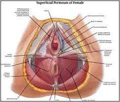 En quoi consistent les séances de rééducation périnéale ? Female Reproductive Anatomy, Female Reproductive System, Human Body Anatomy, Muscle Anatomy, Pregnancy Anatomy, Medical Blogs, Best Workout Routine, Home Health Remedies, Medical Anatomy