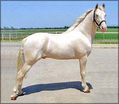 Tennessee Walker - stallion Son Of A Gun's Moonwalker