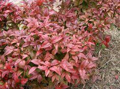 Cómo cuidar la planta Nandina - http://www.jardineriaon.com/como-cuidar-la-planta-nandina.html #plantas
