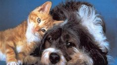 1920x1080 px cat and dog wallpaper widescreen retina imac by Langston Gill