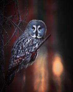 "Niko Pekonen on Instagram: ""Great gray owl (strix nebulosa) at sunrise. Finland www.pictoure.fi #WildGeography #GlobalDaily #bella_shots #elegantanimals #animalelite…"" Strix Nebulosa, Wild Photography, Great Grey Owl, Gray Owl, Birds Of Prey, Geography, Finland, Sunrise, Animals"