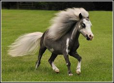Awesome Mini Horse that (Josh and) I hope to own one day.  Epic.  And josh doesn't know we want this yet so don't blow it. My plan is to have him see it first. If he's anything like me the mini is ours!