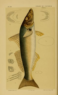 Decade 16-20 - Natural history of Victoria. - Biodiversity Heritage Library