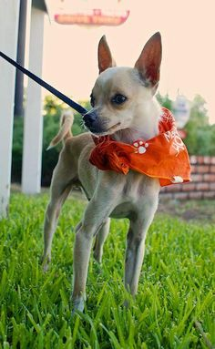 Kisses is a one-year-old male Chihuahua who was rescued through the South LA shelter intervention program when his owner had to move and could not take Kisses with her. He got his name because he loves to give kisses. This is a small dog, about 5-6...