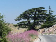 The Cedar of Lebanon, Cedrus Libani
