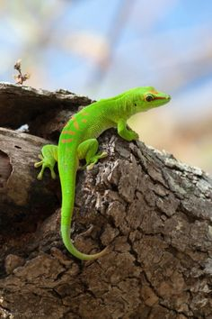 Graceful Pictures of Geckos