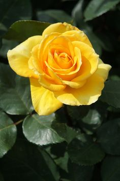 Roses need fertilizer, but fertilizing roses does not need to be complicated. There is a simple timetable for feeding roses. Read here to learn more about when to fertilize roses.