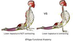 Scapular Action in Upward Facing Dog - Anatomy Studies for Yoga Teachers