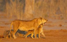 Lioness & Cub