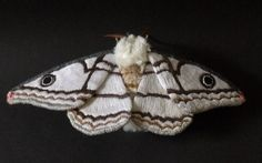 This moth is about 4 inches tall and 9 1/2 inches wide. The wings are made from fabric which is hand painted and embroidered with layer of thread