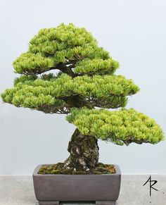 Japanese Black Pine Bonsai | A truly impressive tree. Part o… | Flickr