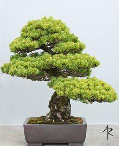 Japanese Black Pine Bonsai | A truly impressive tree. Part o… | Flickr