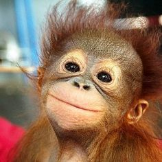 "Baby Orangutan Beastie - When my granddaughter was 6 months old, she locked eyes with a baby orangutan at the Houston Zoo....for several seconds they shared ""a baby moment""."