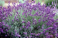 Lavandula angustifolia 'Imperial Gem' is a compact evergreen shrub with deep purple flowers in summer #englishlavender