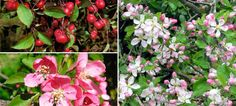 Crab Apple Hedge (Malus Sylvestris) - Hedges Direct UK march to may