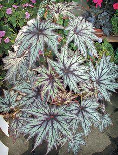 Begonia emeiensis in the rhizomatous group