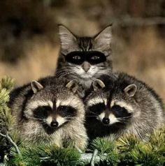 Racoons?  I think I see an imposter :D