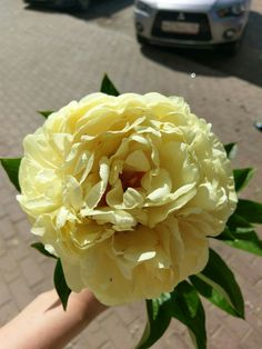 "Fantastic peony ""Sunny boy"". Fragrance, Color! Wow!"
