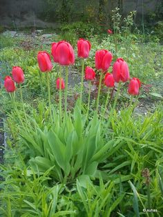 tulips in blossom