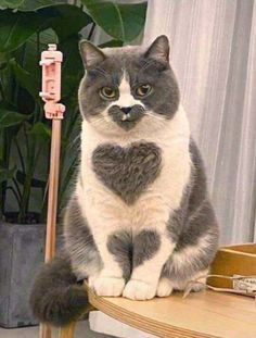Heart HeaRt HeArt - your daily dose of funny cats - cute kittens - pet memes - pets in clothes - kitty breeds - sweet animal pictures - perfect photos for cat moms Cute Funny Animals, Cute Baby Animals, Animals And Pets, Funny Cats, Cute Kittens, Cats And Kittens, Mundo Animal, Most Beautiful Cat Breeds, Cat Love
