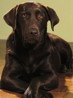 Who's this sweet stunner? It's Buddy, Bill Clinton's chocolate Labrador retriever. Click to learn the surprising story behind his name. #pets #president