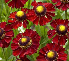 Helenium Red Jewel