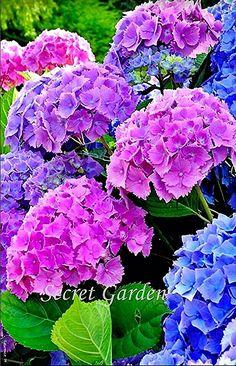Kne of my fav Beautiful Rose Flowers, Rare Flowers, Tulips Flowers, Big Flowers, Amazing Flowers, Beautiful Gardens, Planting Flowers, Hydrangea Garden, Hydrangea Flower