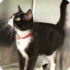 Westampton, NJ - Domestic Shorthair. Meet Soxy 32258343, a cat for adoption…